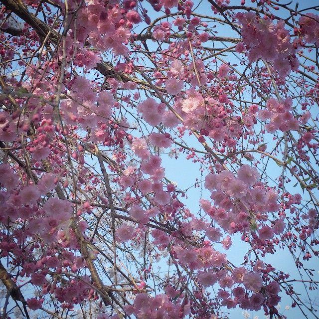 打吹公園の桜